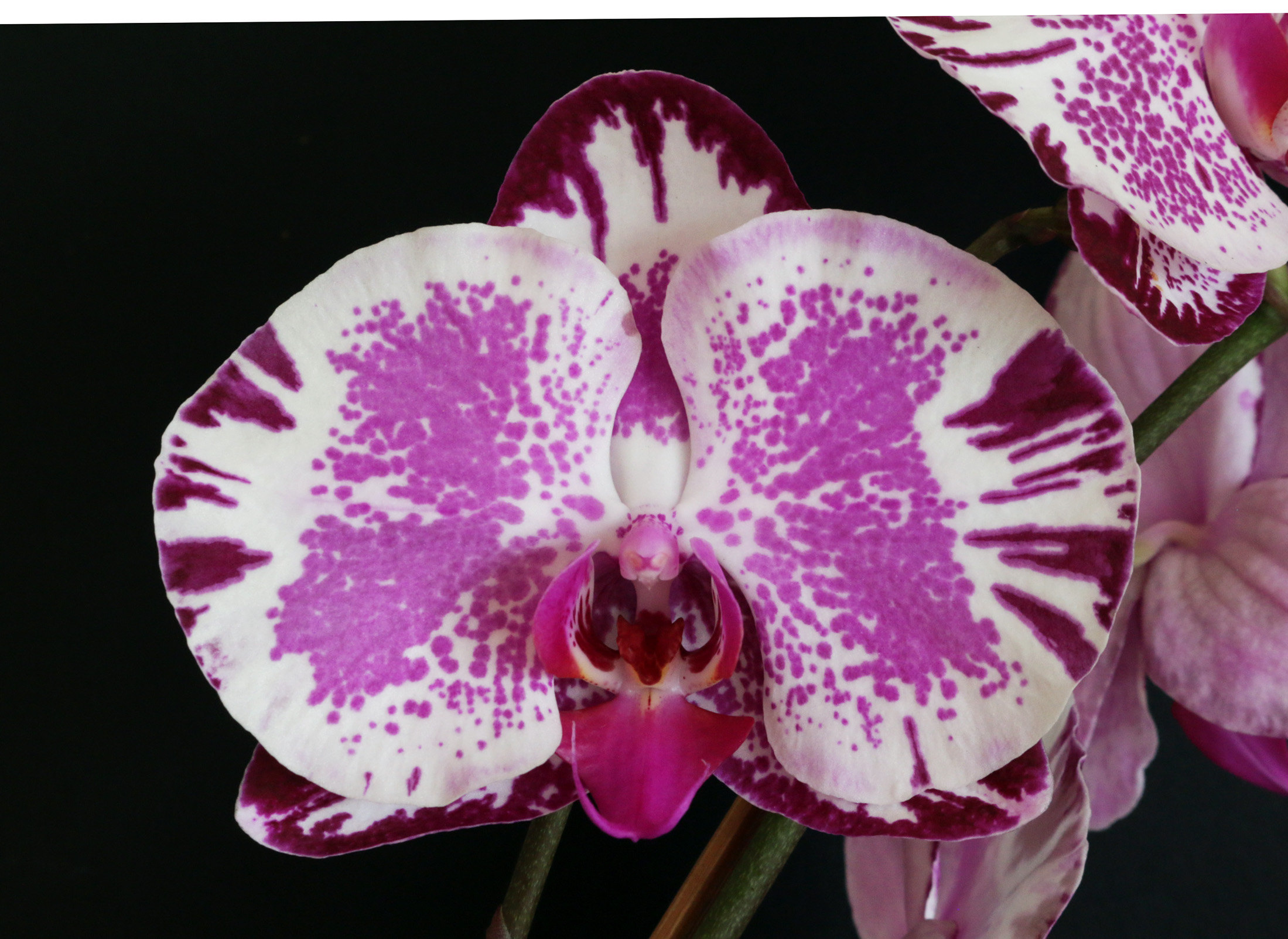 2016-011 Phal. Chian Xen Piano 'CX367' HCC 79.12 Owner R & S Tucker Photo C Hubbert OCNZ