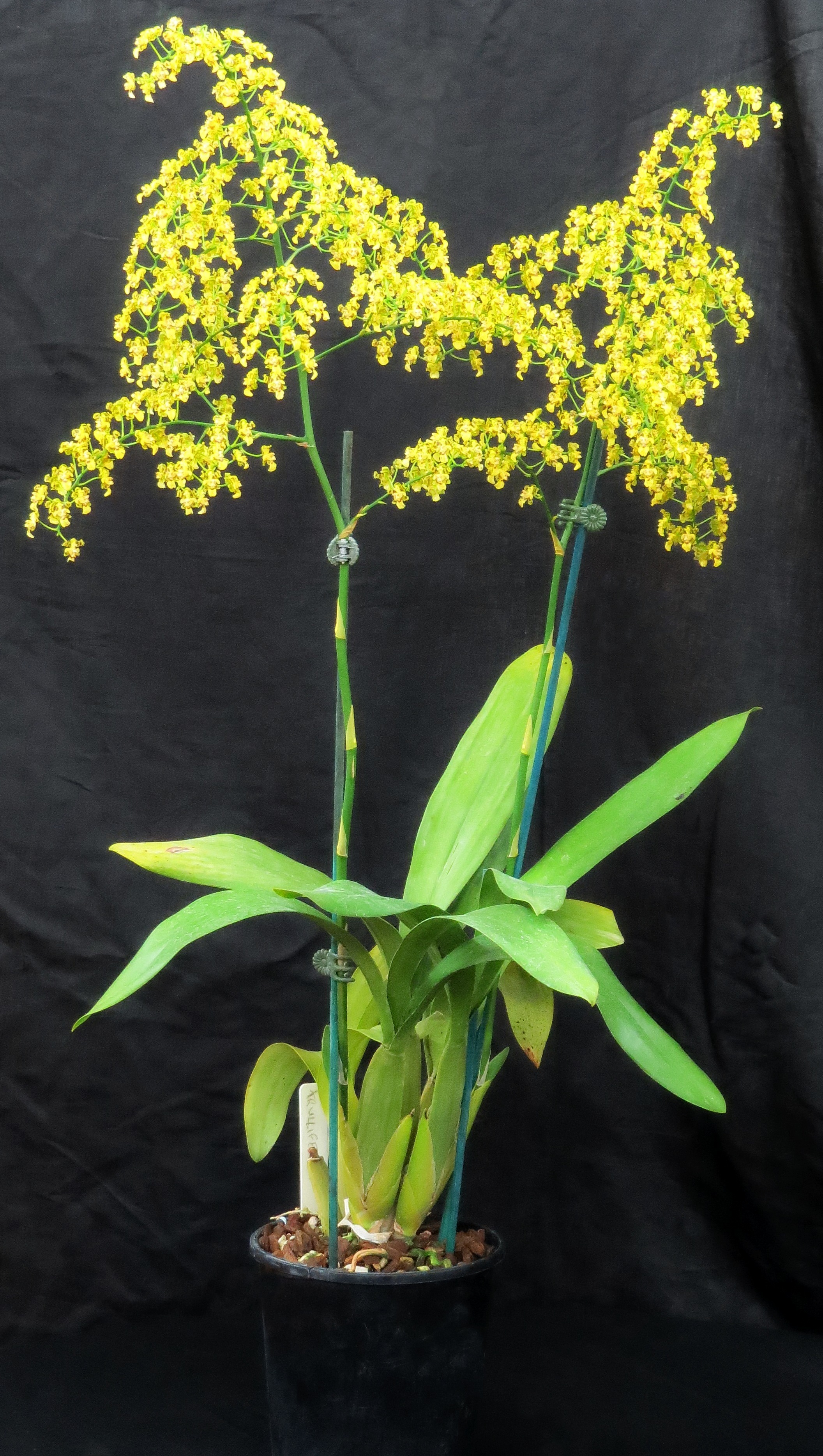2016-019 Onc. trulliferum 'Christy' CCC 80 Owner C & J Christensen Photo S Simson OCNZ