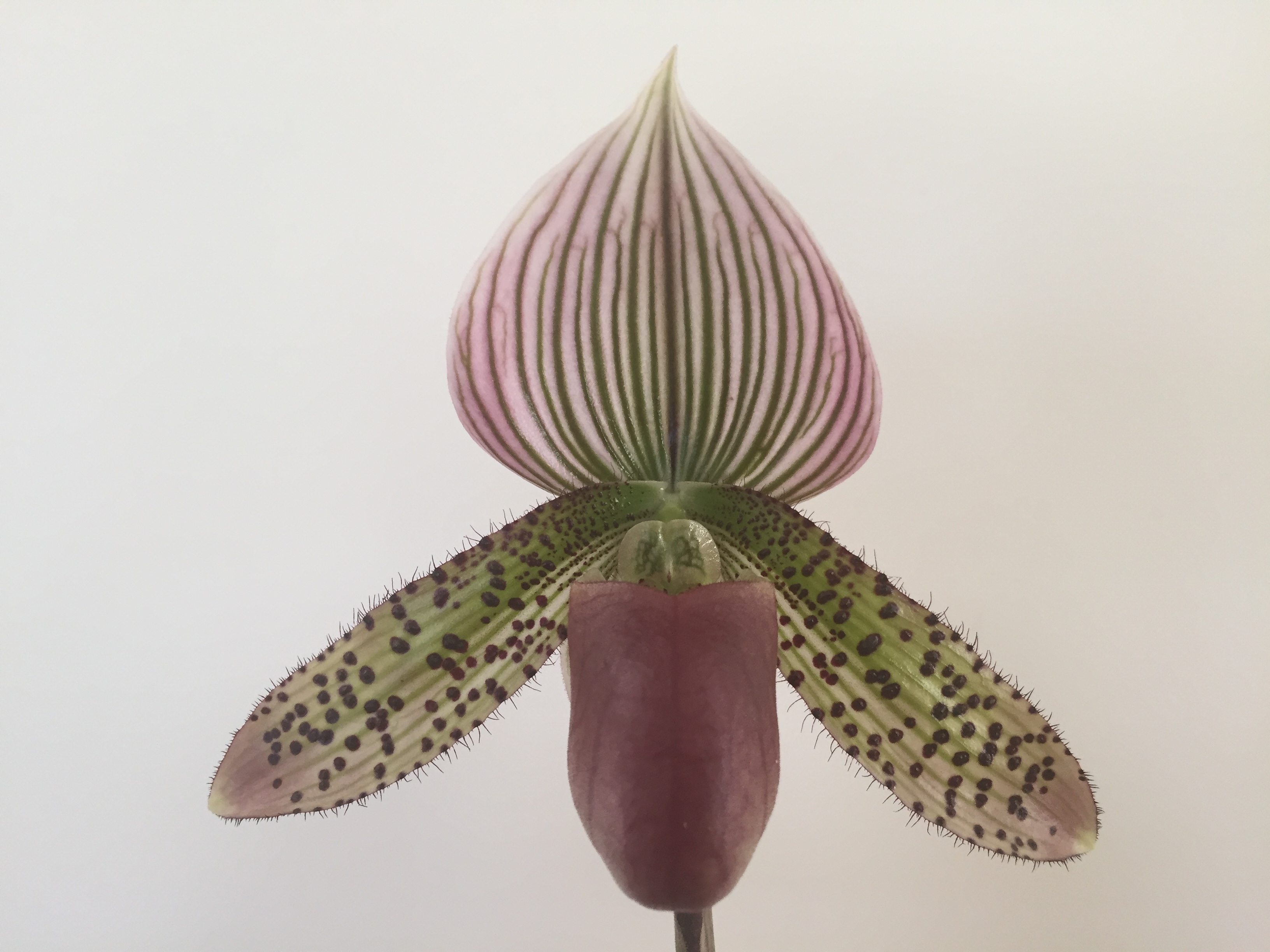 2016-032 Paph. Bobby Colina 'Ging' AM 83.26 Owner A Booth Photo T Brown OCNZ