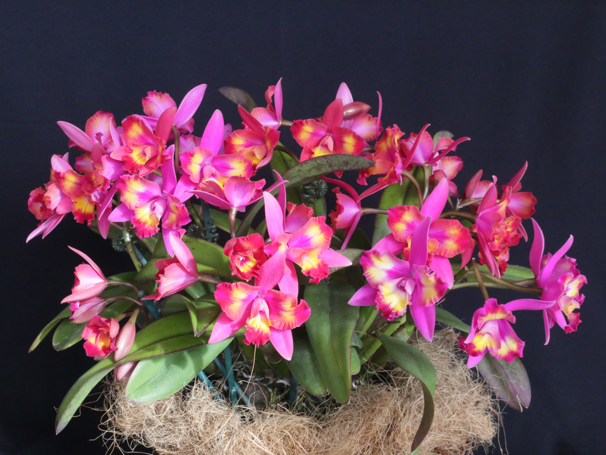2016-044 C. Hawaiian Splash 'Lea' CCC 84.71 Owner L Teope Photo C Hubbert OCNZ