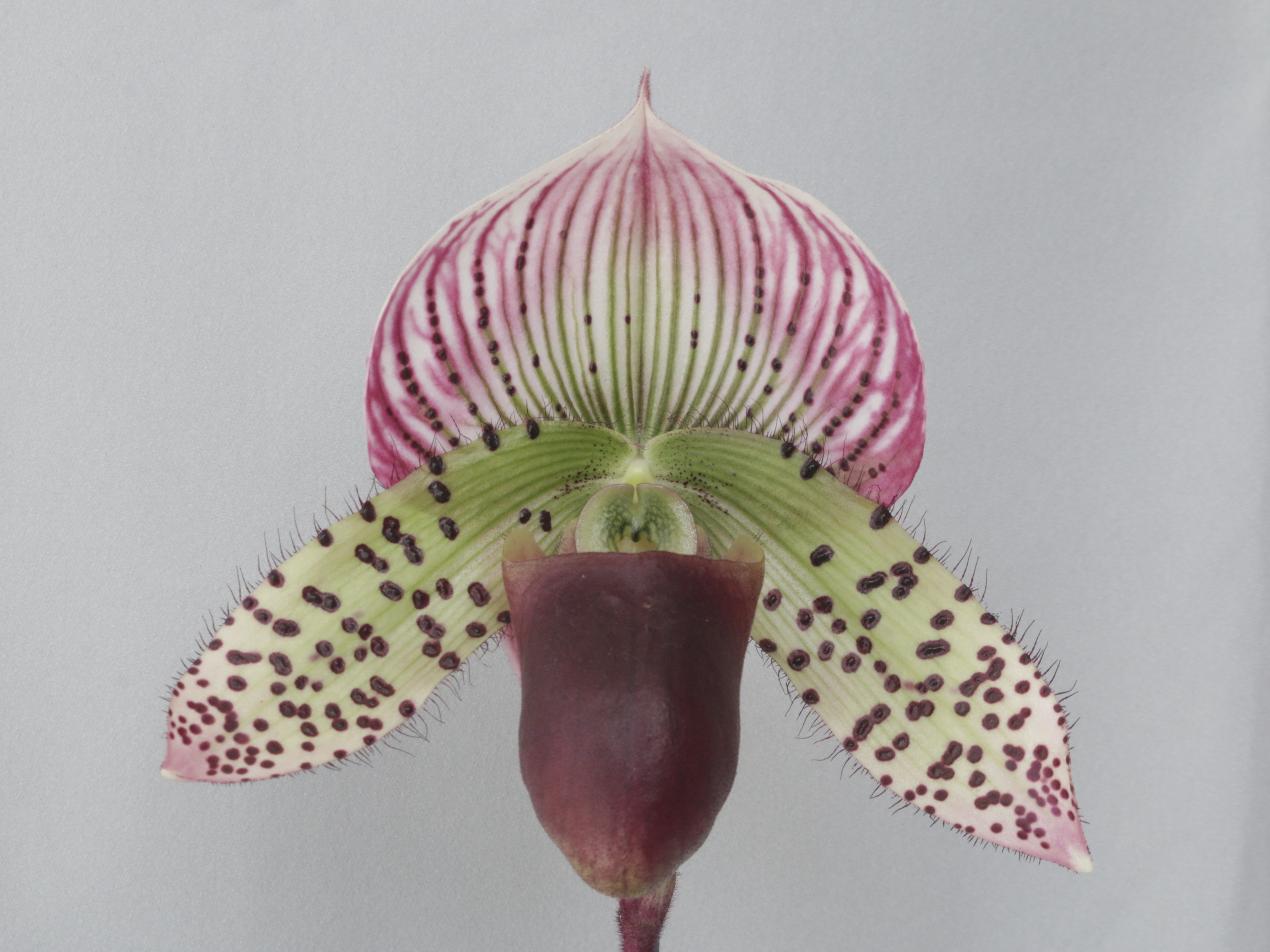 2016-048 Paph. Mack Imp 'Shellnick Surprise' AM 86.63 Owner C Whitby Photo C Hubbert OCNZ