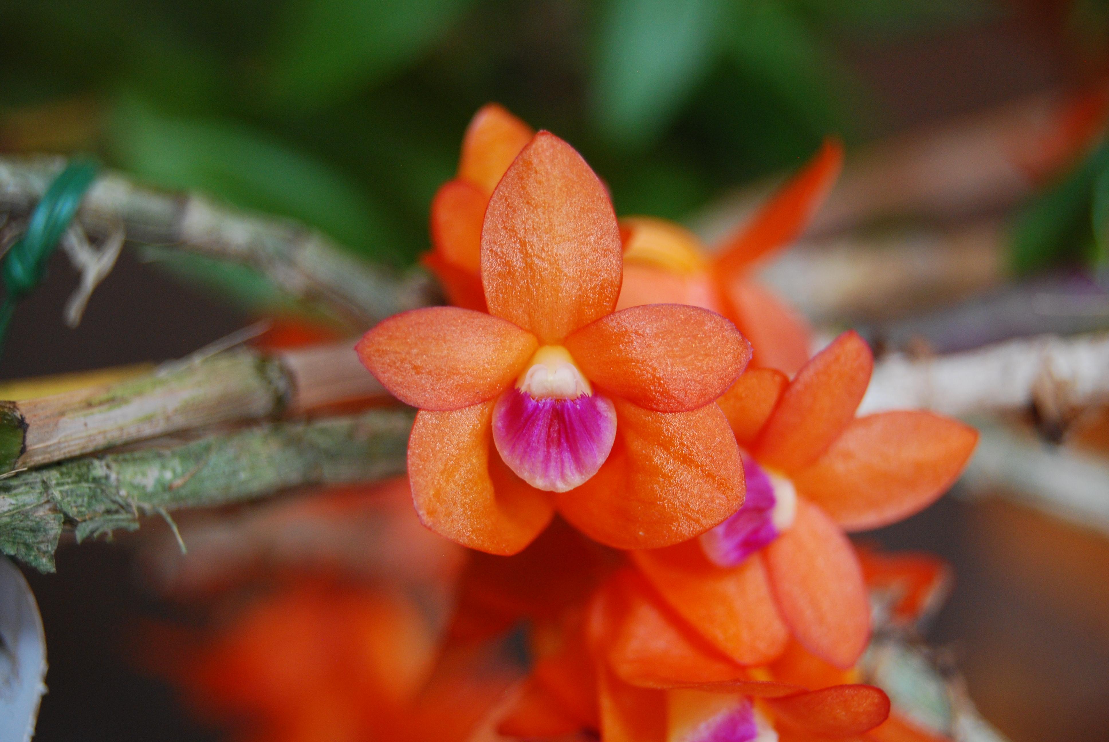 2016-060 Den. Paradise Lorna 'Tihi-o-tonga' HCC 78.8 OCNZ