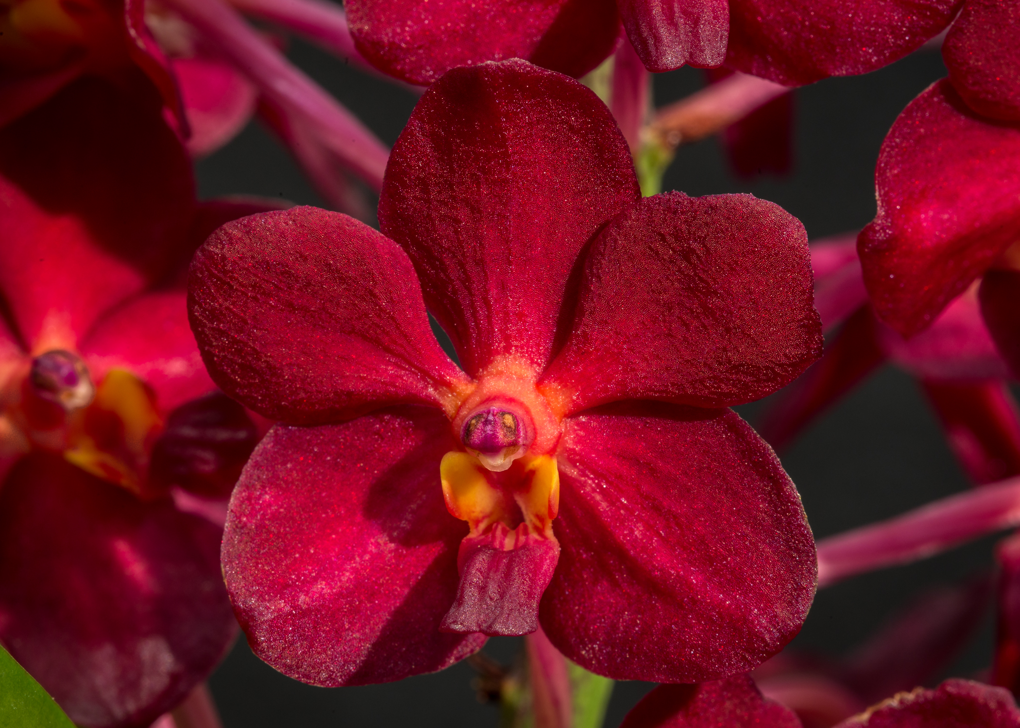 2016-069 Vanda Laksi 'Red' AM