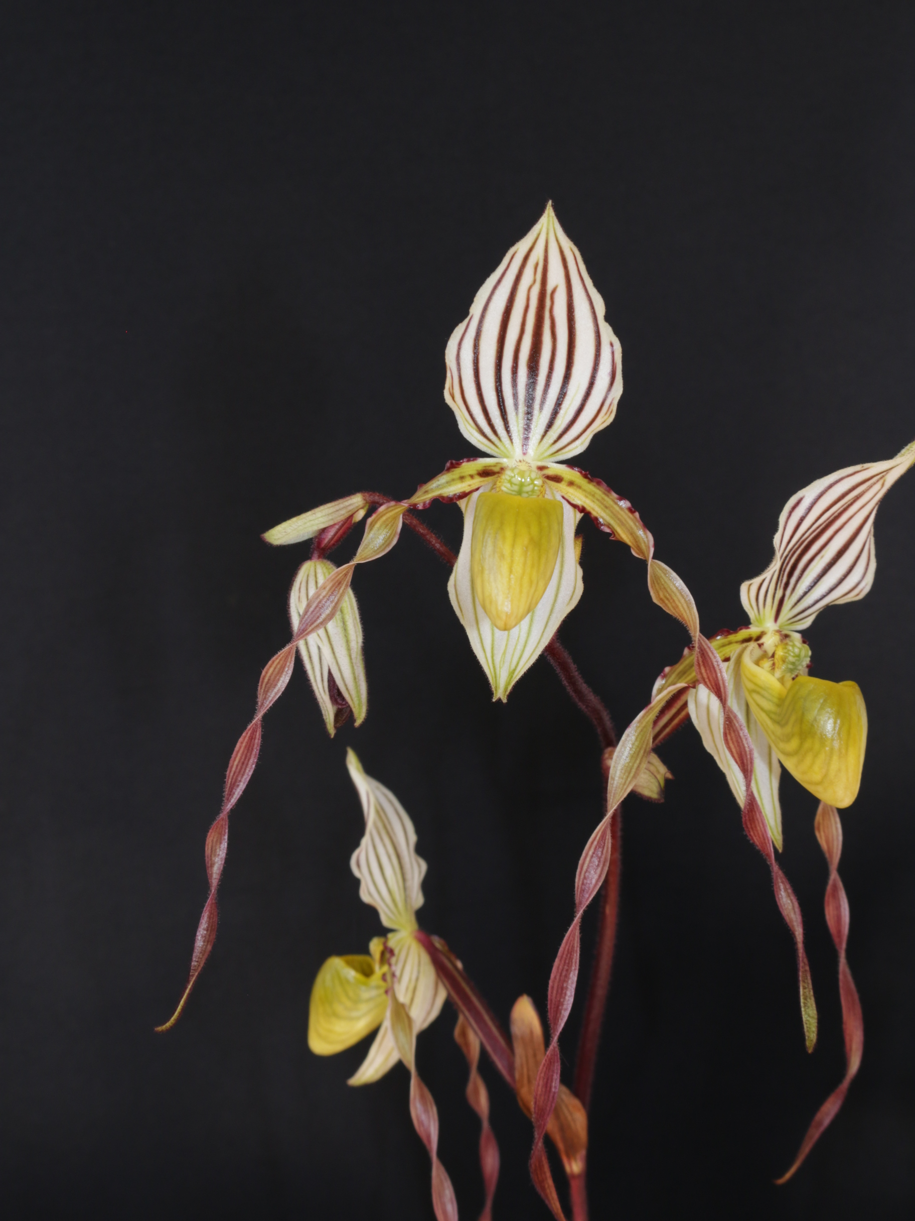 2016-087 Paph. philippinense 'Redvale' HCC 77.05 Owner S & R Tucker Photo C Hubbert OCNZ