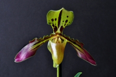 2016-002 Paph. tigrinum AM 82.75 Owner A Booth Photo C Symonds OCNZ