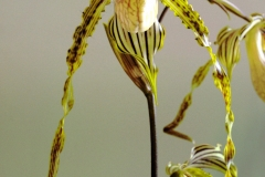 2016-008 Paph. Yellow Tiger 'Bobby' AM 81.17 OCNZ
