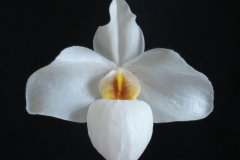 2016-009 Paph. Ameni White 'Ava' AM 83 OCNZ