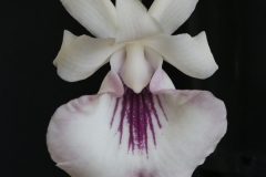2016-021 W. Amazon Beauty 'Hunny Bunny' HCC 76.38 Owner Leroy Orchids Photo C Hubbert OCNZ