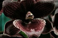 2016-054 Ctsm. Dagny 'Mathew Mark' AM 81.88 Owner Leroy Orchids Photo C Symonds OCNZ